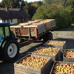 Tolv bingar äpplen